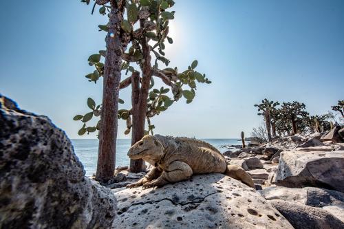 The unique Santa Fe iguana