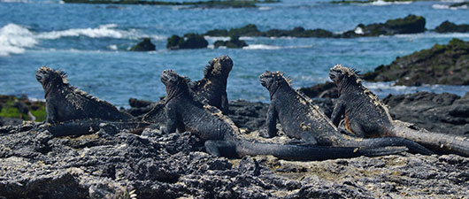 Marine iguanas from the Galapagos Islands