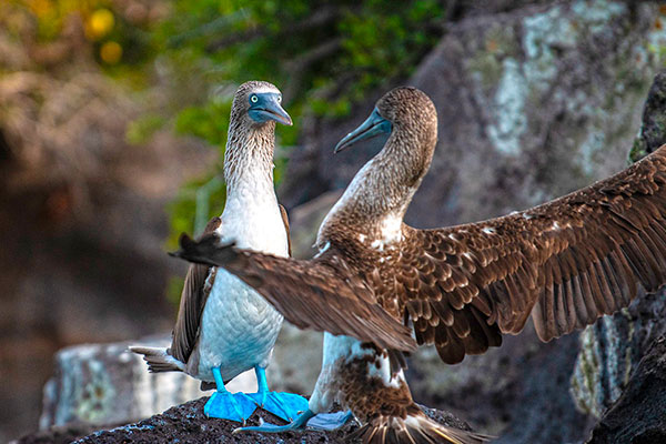 Iconic Galapagos' Species: Blue-footed boobies