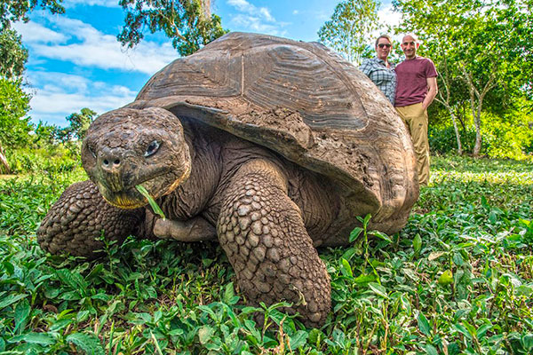 Galapagos Giant Tortoise at Santa Cruz Island's lush highlands