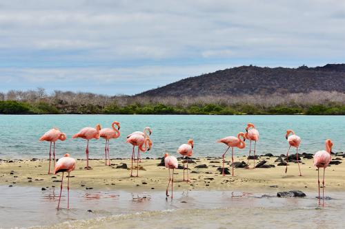 American flamingos at Post Office Bay on Floreana Island.