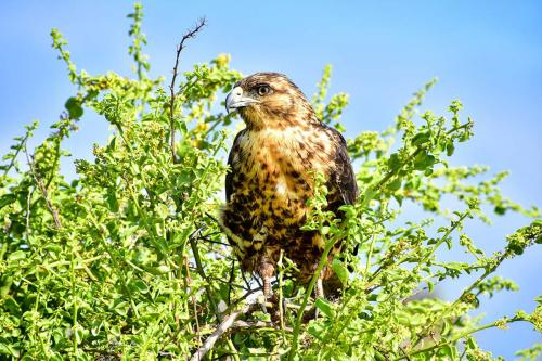 Galapagos hawk standing on a brunch.