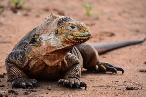 Land iguana seen while exploring Dragon Hill in Galapagos.